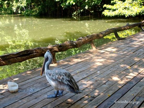 Paco el pelicano