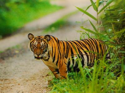 tigre en Kaeng Krachan