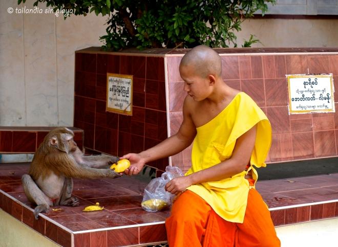 monjes novicios y mono mae sot