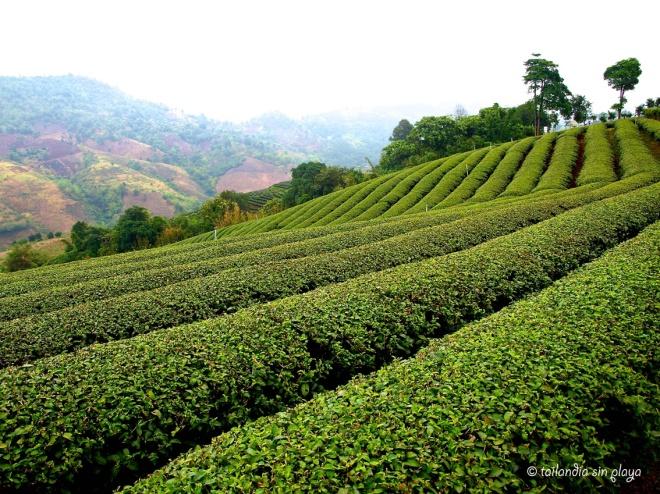 Plantaciones de té Mae Salong