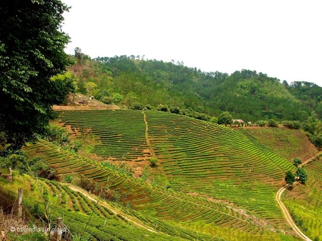 Alrededores de Mae Salong Chiang Rai